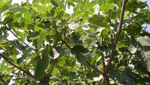 Feigenbaum im Sommer - Österreich