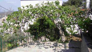 Feigenbaum auf Cres