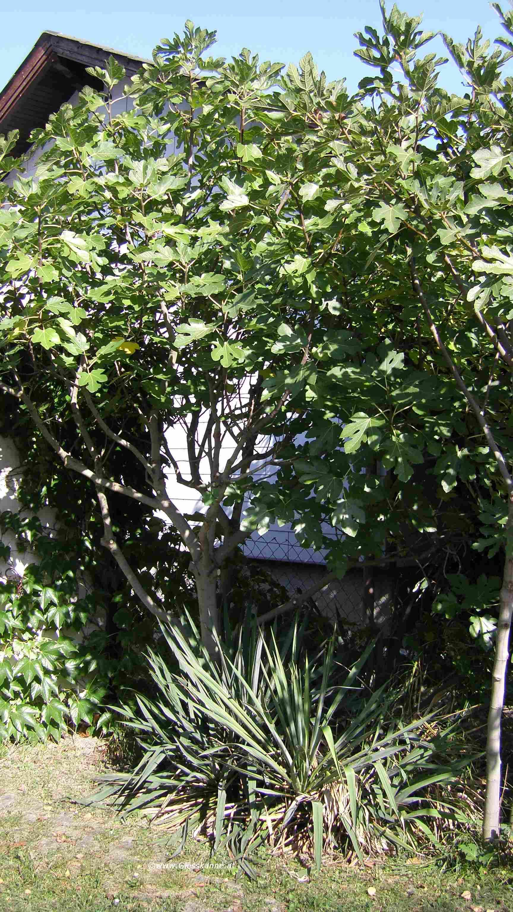 Feigenbaum Im Garten : feigen ~ Orissabook.com Haus und Dekorationen
