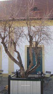 Granatapfelbaum im Topf in Schlosshof