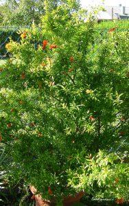 Granatapfelbaum in Blüte