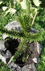 Junge Schmucktanne - Araucaria