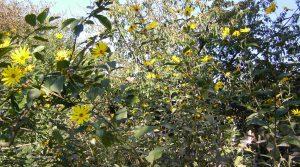 Topinambur mit Blüten im Herbst
