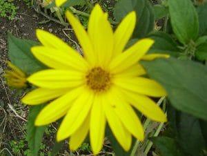 Blüte Topinambur
