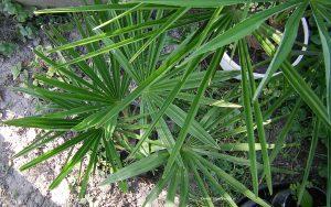 Trachycrapus Fortunei Jungpflanze von oben