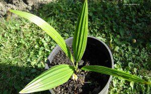 Trachycrapus Fortunei Jungpflanze 2 Jahre alt