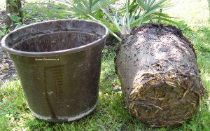 Trachycarpus Fortunei - Wurzeln beim Umtopfen