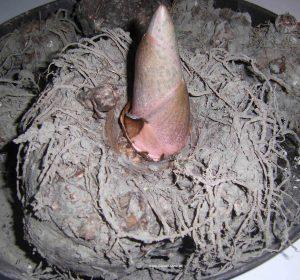 Amorphophallus Konjac im Februar