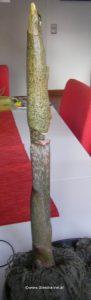 Amorphophallus vor Blüte