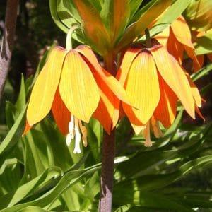 Kaiserkrone - Fritillaria imperialis Blüte
