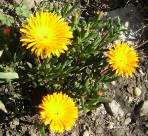 Mittagsblume - Mesembryanthemum Orange-Gelb