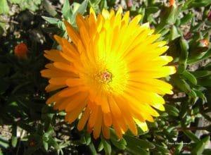 Mittagsblume - Mesembryanthemum Blüte Orange-Gelb