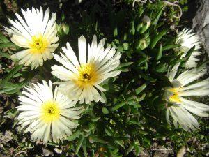 Mittagsblume - Mesembryanthemum, weiss