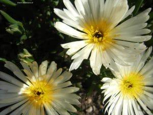 Mittagsblume - Mesembryanthemum, weiße Blüten