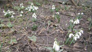 Schneeglöckchen März