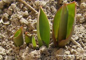 Tulpen Austrieb Anfang März