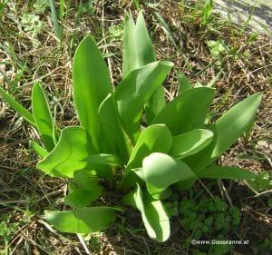 Tulpen Austrieb Mitte März