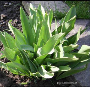Tulpen Austrieb