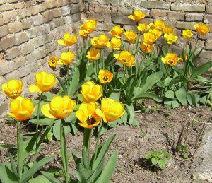 Tulpen gelb