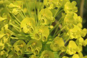 Blüte Palisaden-Wolfsmilch