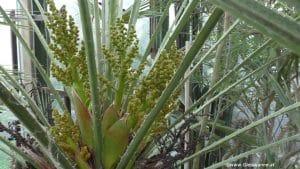 Chamaerops humilis Blüte