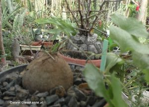 Dioscorea Elephantipes klein und groß