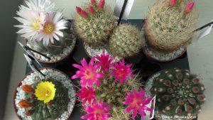 Blühende Kakteen bei Exotic Plants