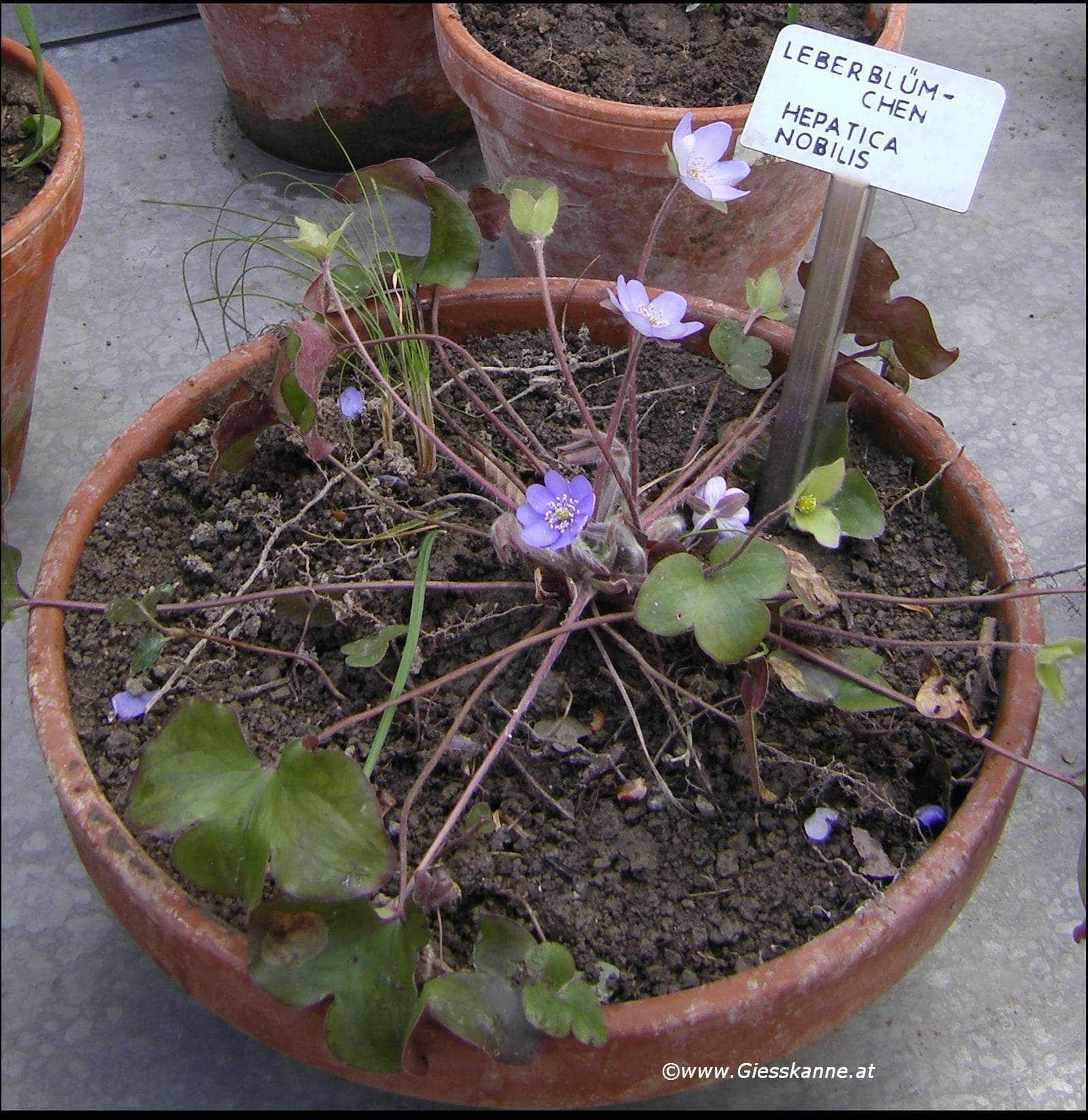 pyrenacantha malvifolia samen