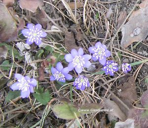 Leberblümchen im März