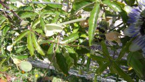 Passiflora caerulea Blüte und Frucht