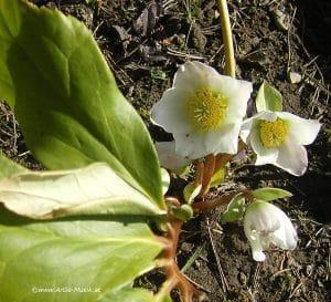 Schneerose mit Blüten im März