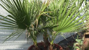 Washingtonia nach Winter im April