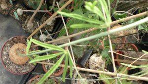 Adenia stenodactyla Mitte Mai