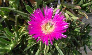 Carpobrotus edulis Blüte