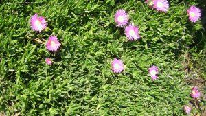 Carpobrotus edulis mit Blüten