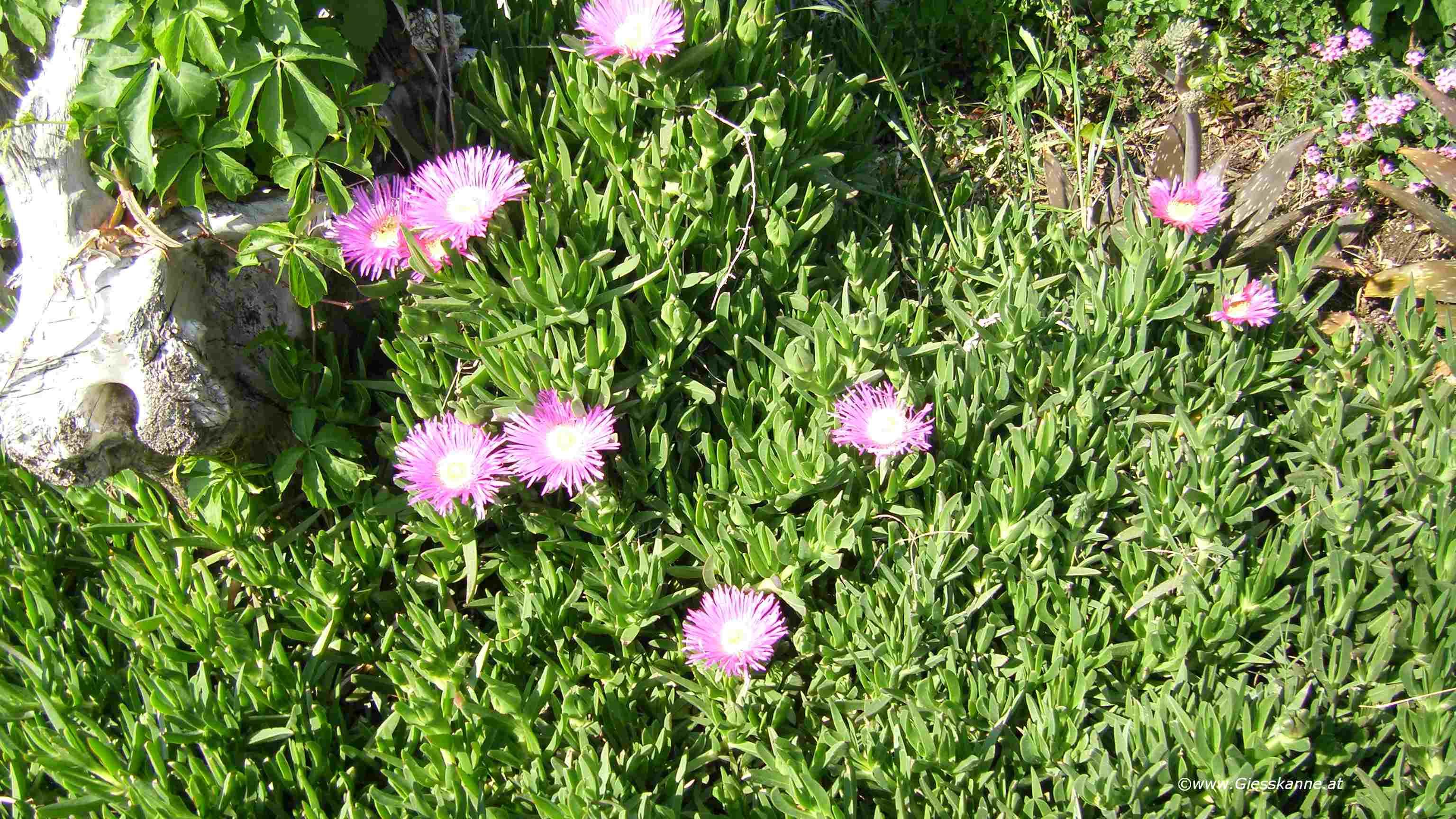 3 Ableger vpm der Hottentottenfeige Mittagsblume Carpobrotus acinaciformis pink