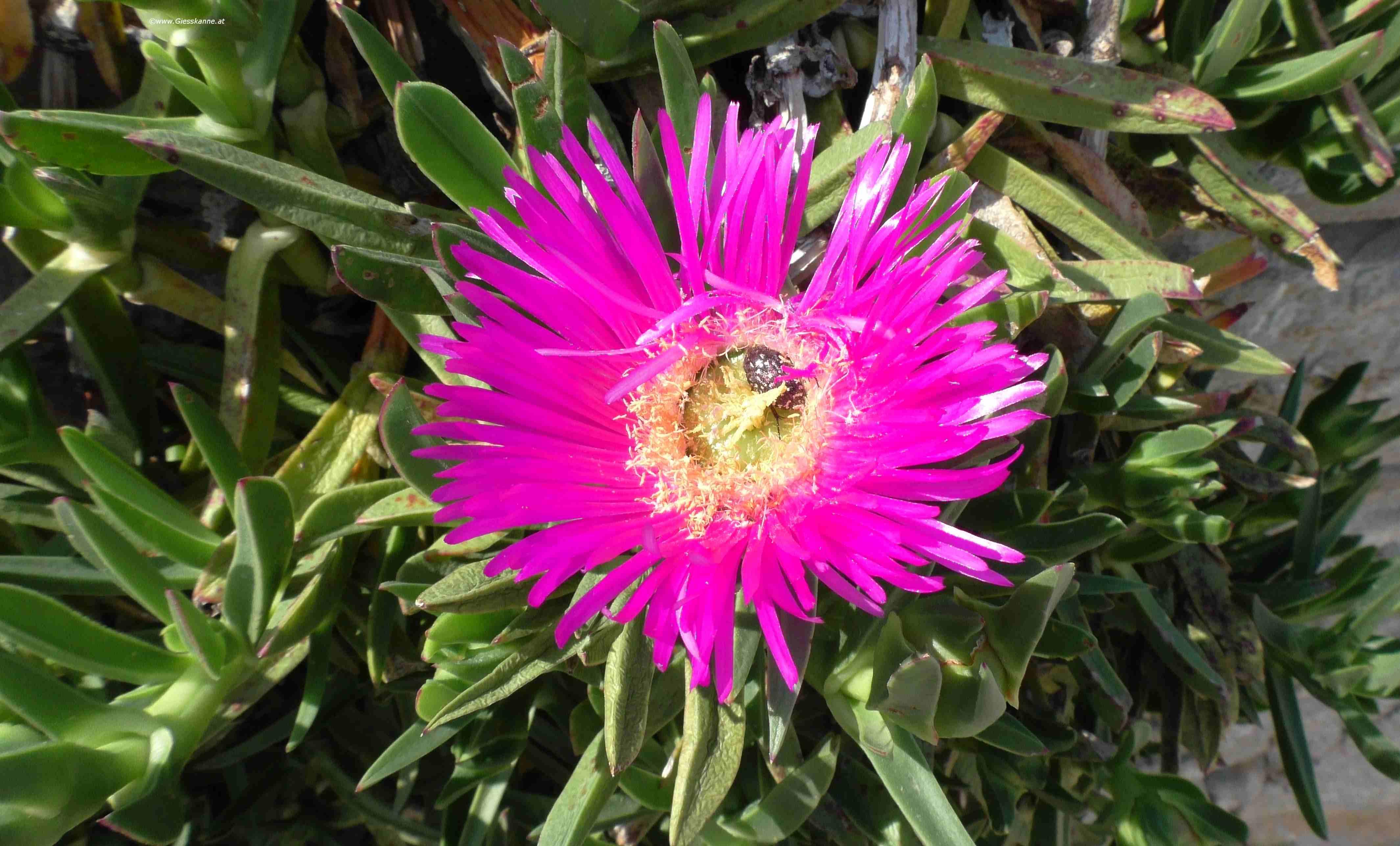 schnittlauch pflege blüte