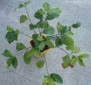 Kaffeepflanze 3 Jahre alt