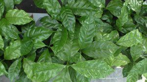Kaffeepflanzen Blätter