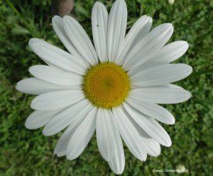 Blüte Margerite