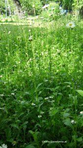 Margeriten vor Blüte