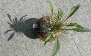 Pachypodium namaquanum von oben