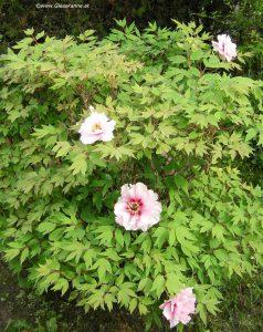 Pfingstrosen-Strauch Blüte