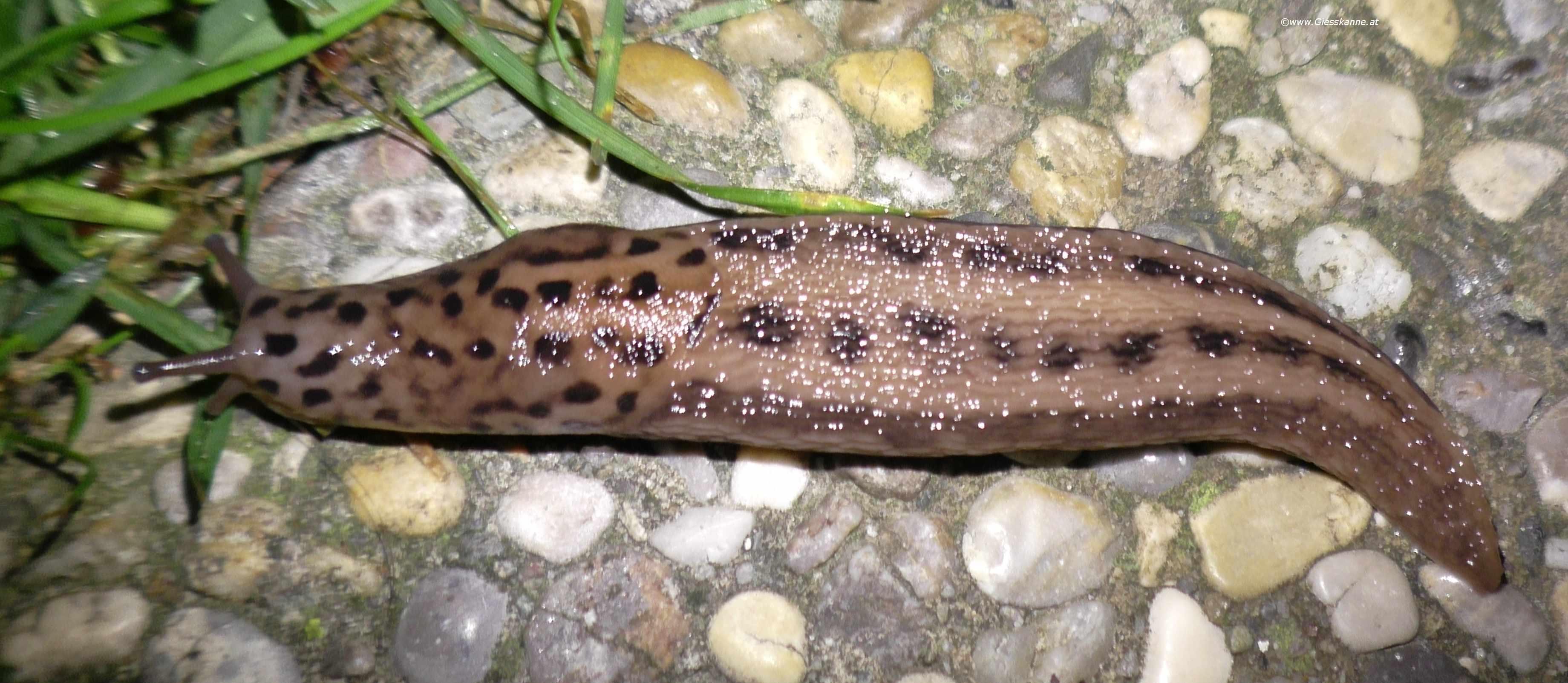 Tigerschnegel - Limax maximus