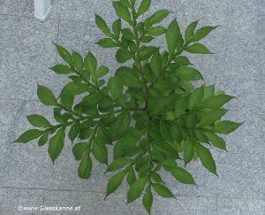 Amorphophallus konjac - Blätter von oben Juni