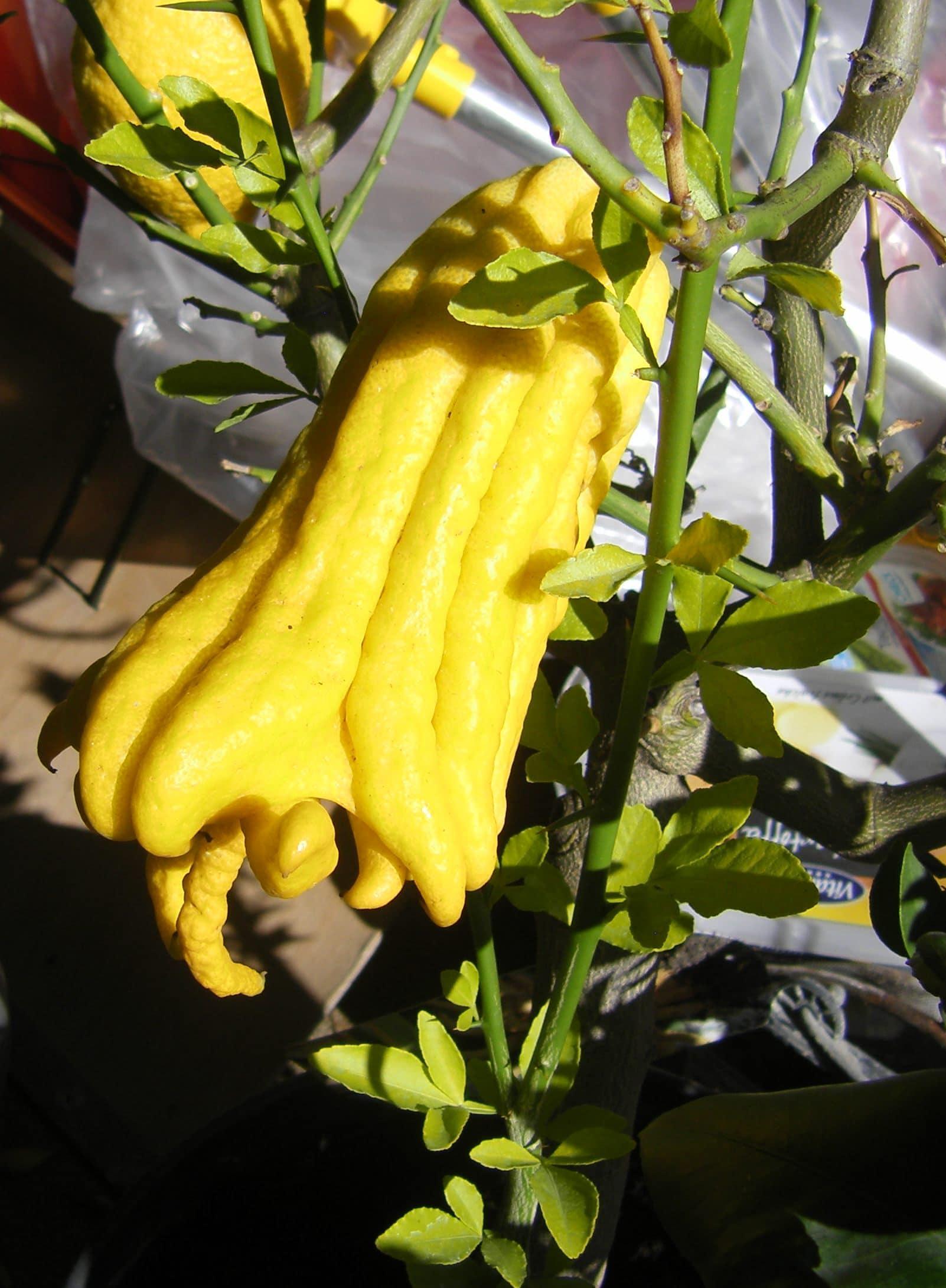 Buddhas Hand - Citrus medica
