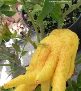 Buddhas Hand, Frucht und Blüten
