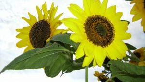 Sonnenblumen Blüte