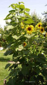 Sonnenblumen im Juli