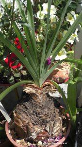 Fächerlilie Boophone disticha mit Blättern